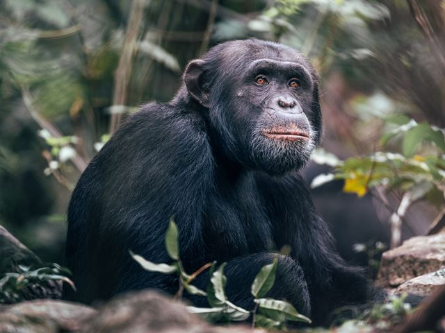 Chimpanzee habituation project