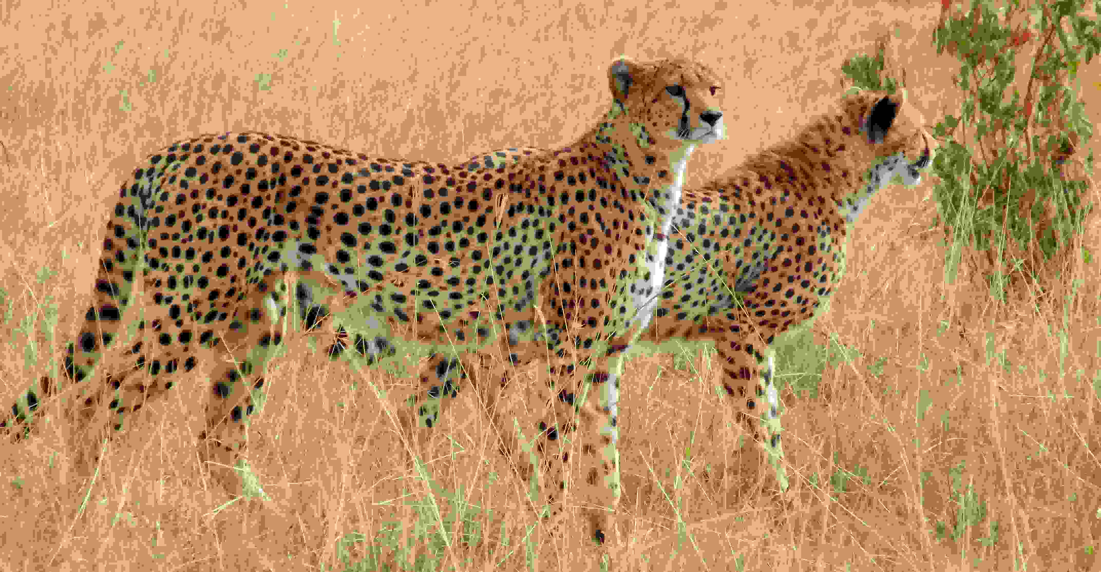 Animals of Africa set of 10 w cheetah