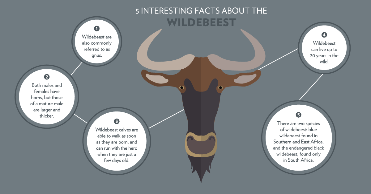 5 facts about the wildebeest