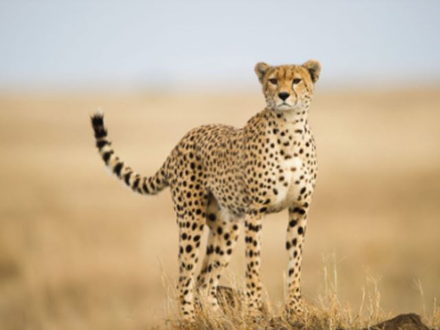 Serengeti Cheetah Project