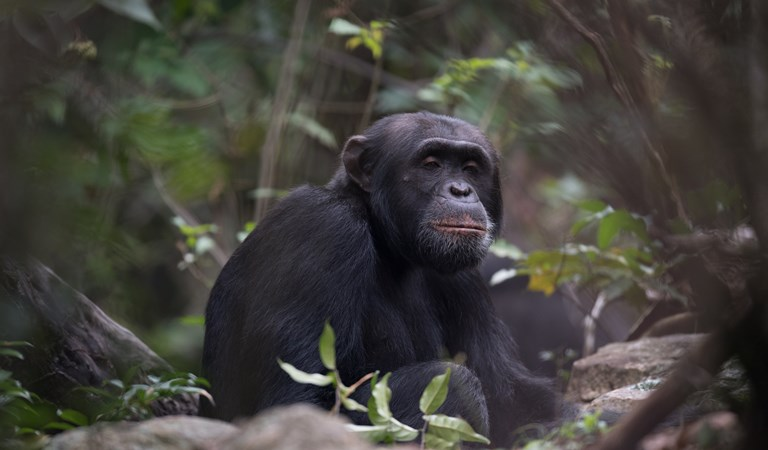Tanzania Serengeti and Chimps