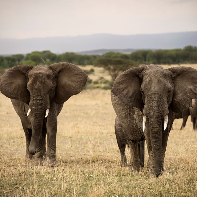 13. Olakira Migration Camp Elephants