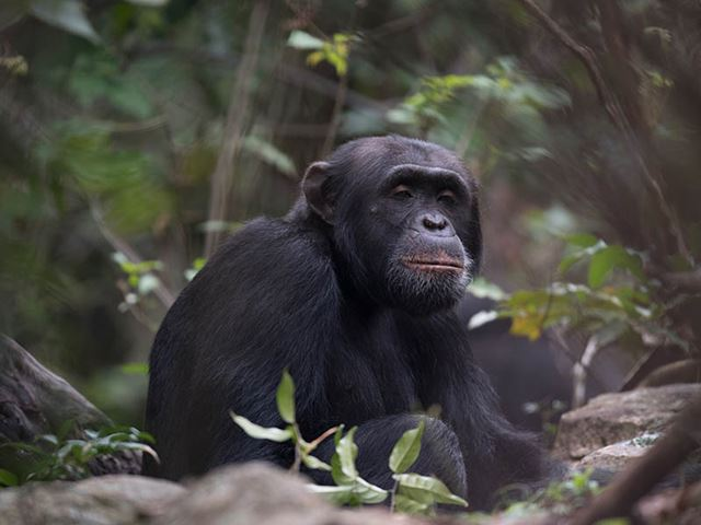 Alpha-male-chimp-Rubondo-Forest.jpg (2)