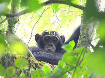 Rubondo Island: The Process of Chimpanzee Habituation