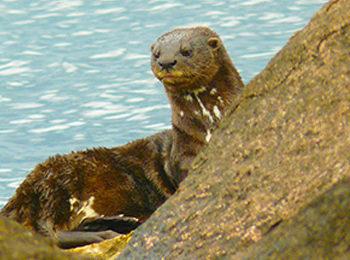 The otters of Rubondo Island