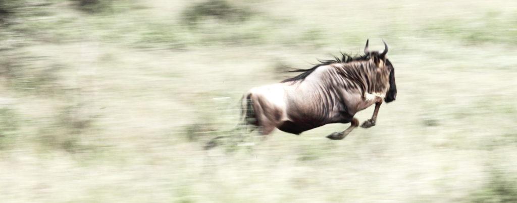 wildebeest-5-serengeti-gibello-main