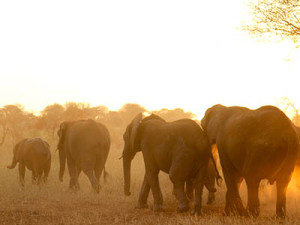 Elephant herd walking through the Tarangire National Park