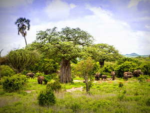 Ruaha landscape with elephant heard grazing in the background.