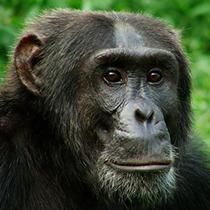 Chimpanzees & Gorilla Trekking