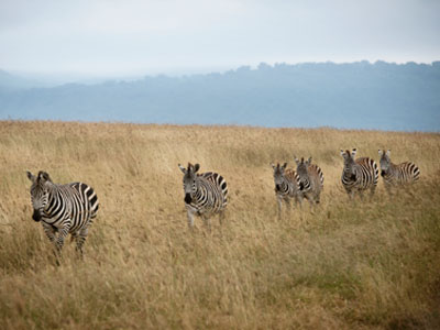 Zebras strolling in the Ngorongoro Conservation Area.