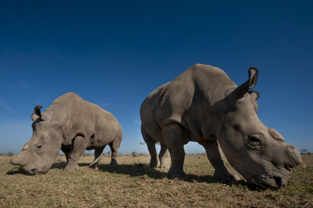 Rhino Ol Pejeta Conservancy