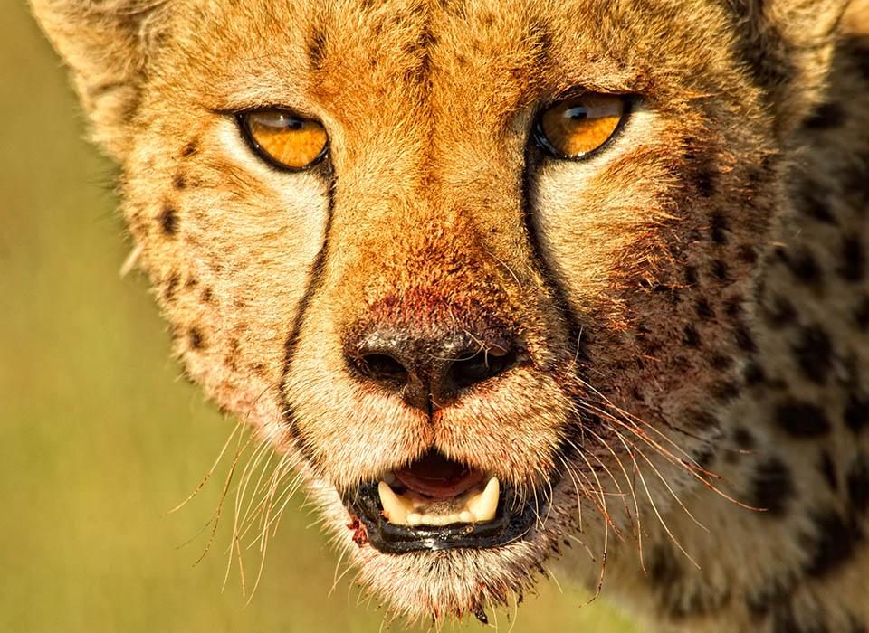 049cb8b3fb4 A close up of a cheetah seen in the Maasai Mara.