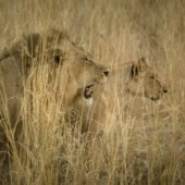 Kwihala Camp lions hunting