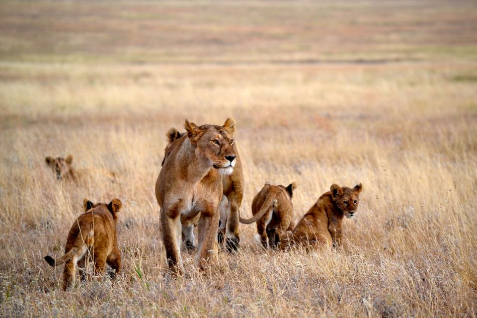 Namiri-plains-Big-pride-Soit-Lemontonye-Serengeti-Allan-Earnshaw-MR