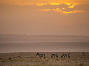 Zebras grazing in the sunset at Ol Pejeta.