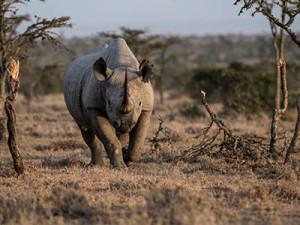 Rhino at the Ol Pejeta Conservancy.