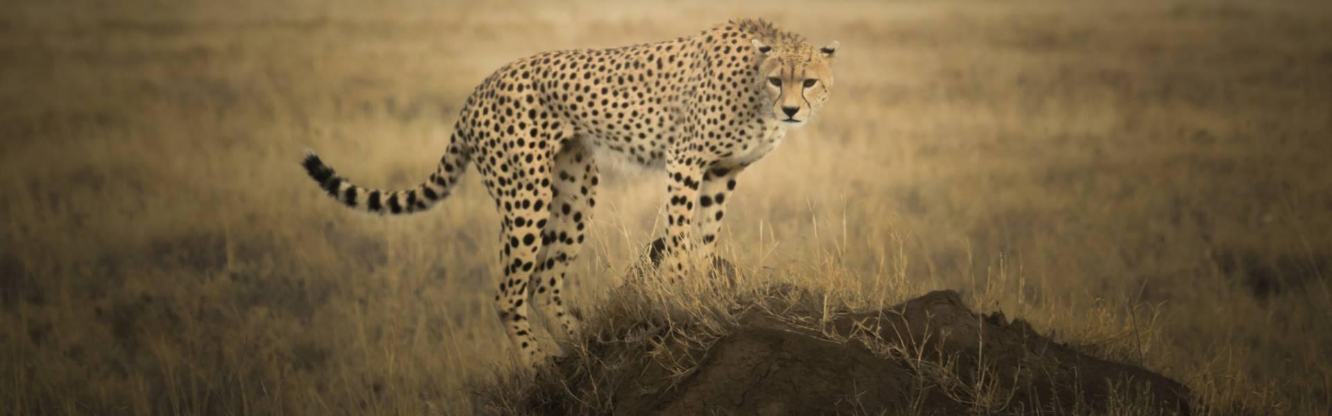 A cheetah perches on a mound in the Serengeti Tanzania.
