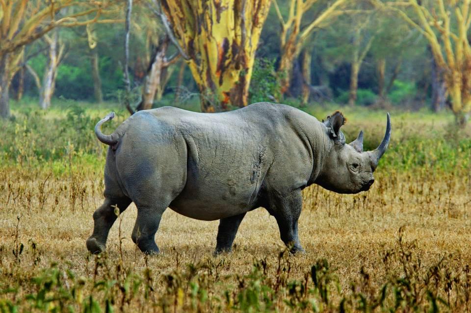 The Highlands black rhino.