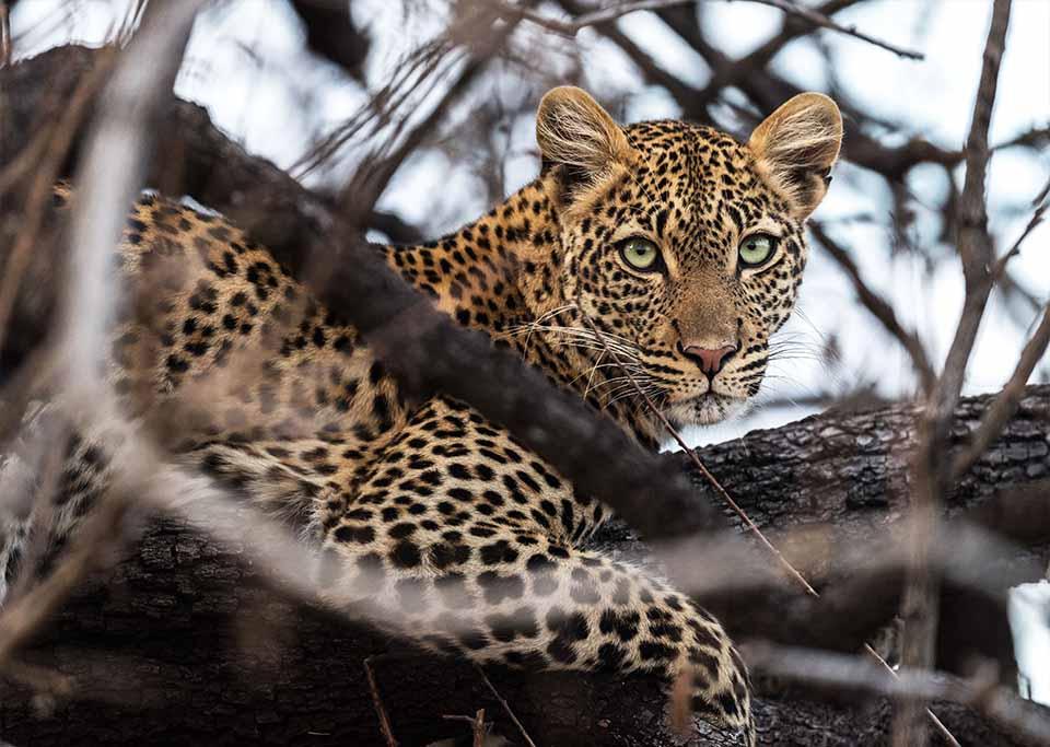 leopard sitting in a tree stalking prey