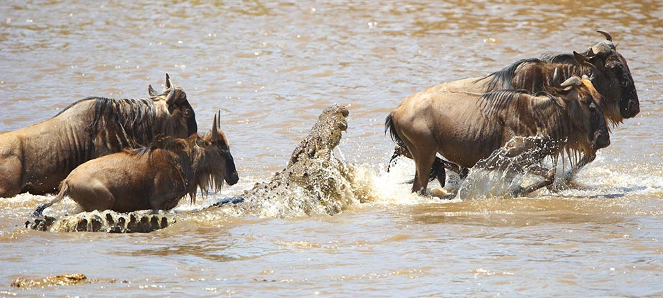 A crocodile snaps its jaws at a group of wildebeest crossing the river | East Africa Safaris | Asilia Africa