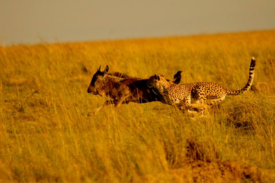 A cheetah gains ground on a young wildebeest who has been separated from the herd | Great Migration | East Africa Safaris
