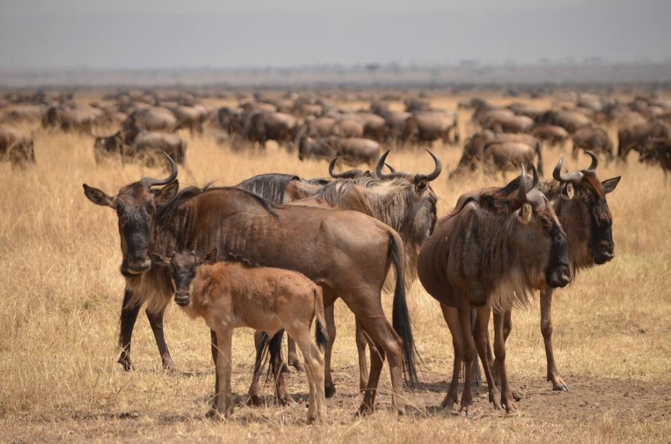 A group of adult wildebeest protectively gather around a young calf | Great Migration | East Africa Safaris