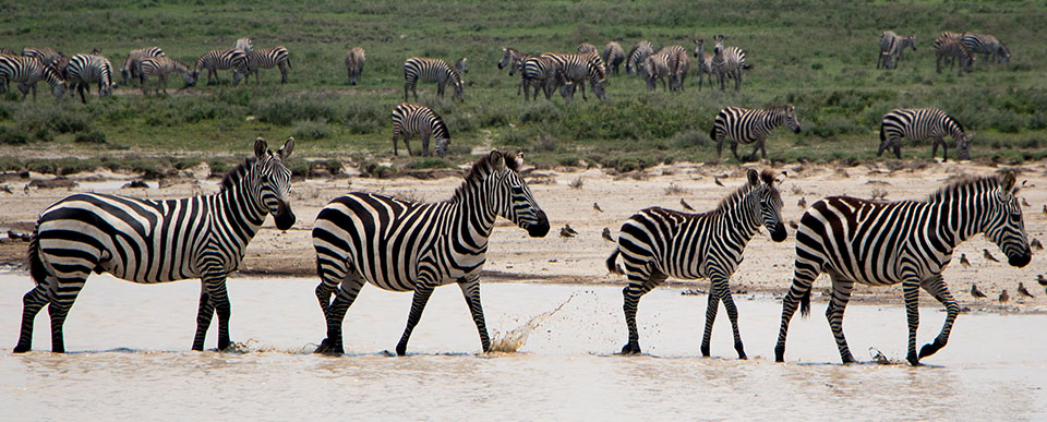 A group of zebras wade through shallow waters | Great Migration | East Africa Safaris