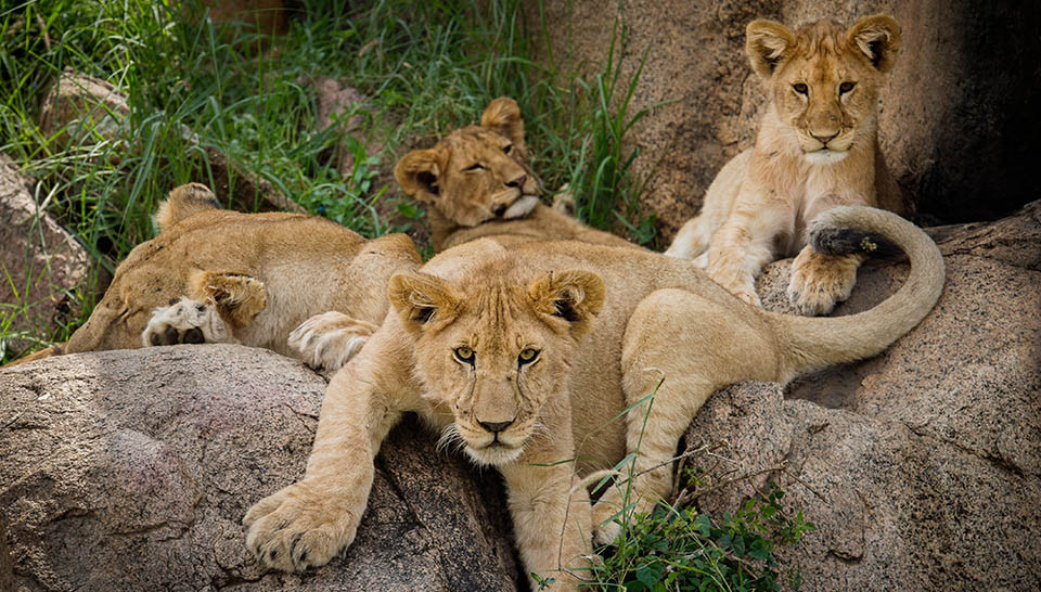 Young lions relaxing on a rocky outcrop | East Africa Safaris