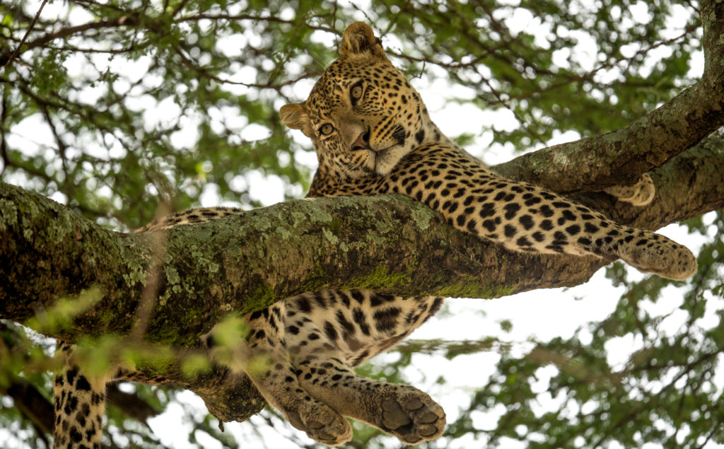Leopard relaxing in a tree, taken by George B Turner | East Africa Safaris with Asilia Africa