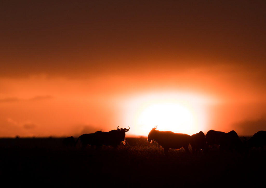 Silhouette of wildebeest against the setting sun in East Africa