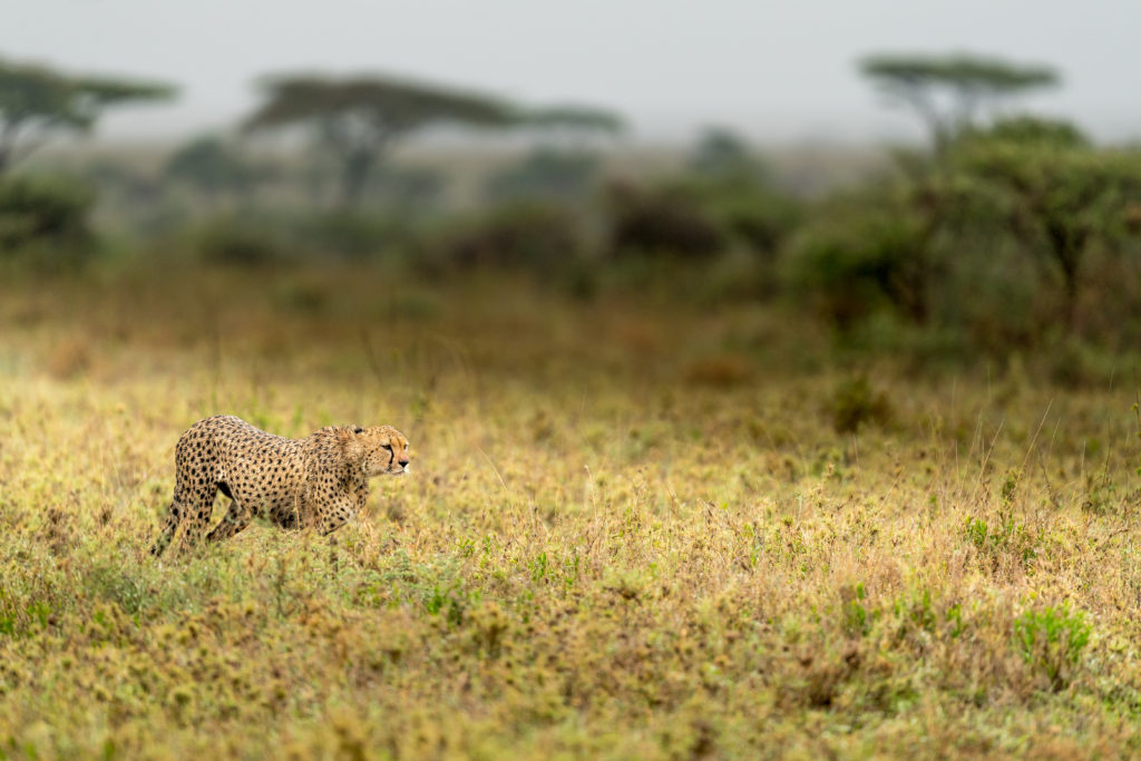 A cheetah on the prowl by George B Turner for Asilia Africa