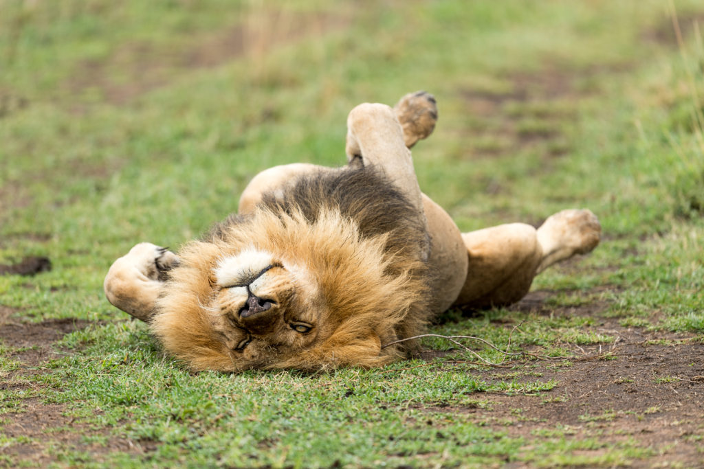 A male lion rolls on his back on the grass, taken by George B Turner
