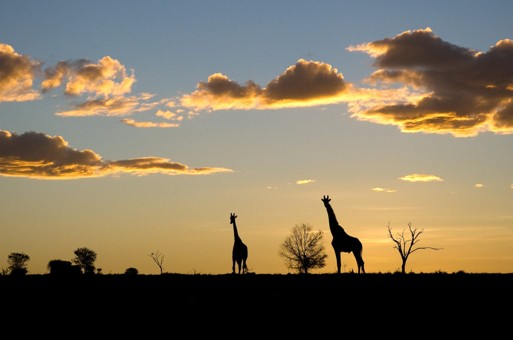 2 giraffes silhouetted against an East African sunset