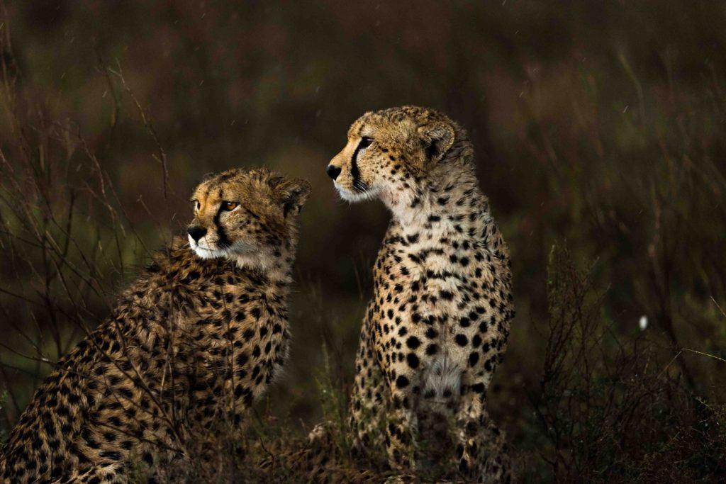 Cheetah brothers taken by George B Turner for Asilia Africa at Namiri Plains Camp