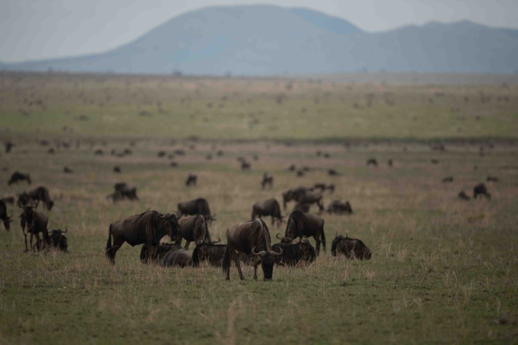 Wildebeest of the Great Migration taken by George B Turner on his Asilia East Africa Safari