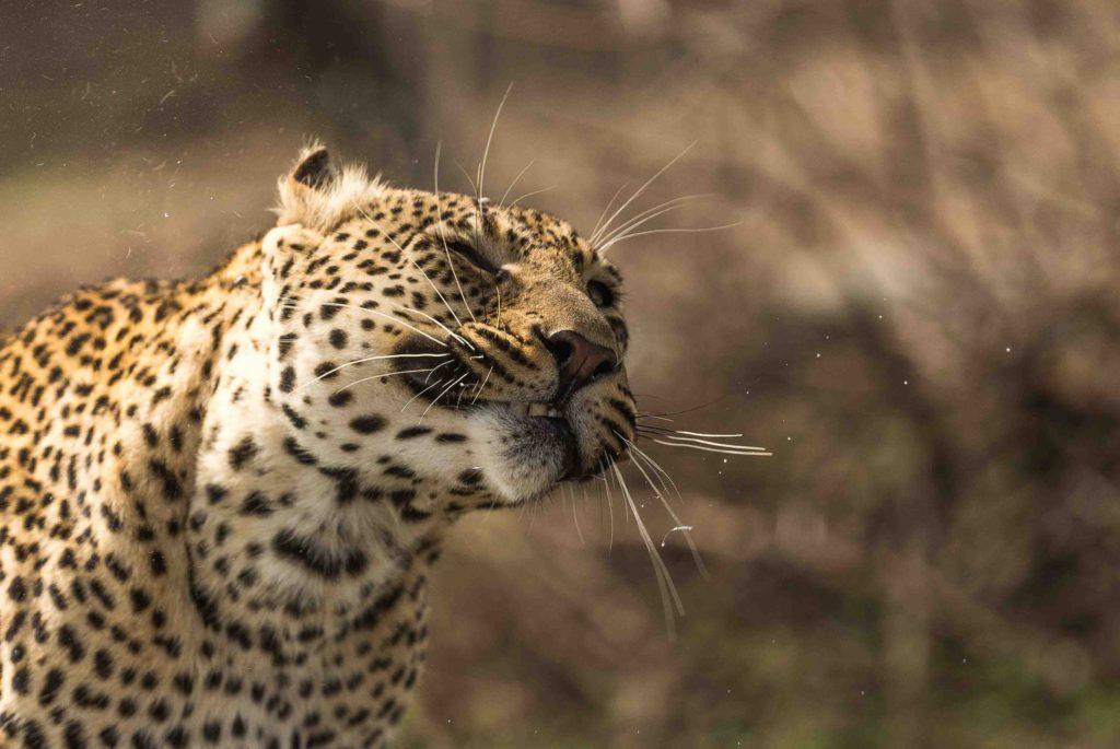 Leopard shaking it's head by George B Turner at Asilia, East Africa Safari