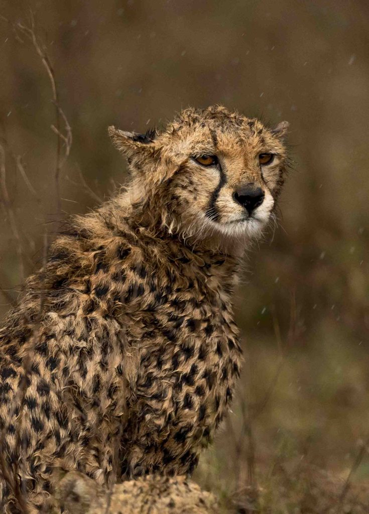 Cheetah looking grumpy in the rain by George B Turner taken at Asilia's Olakira Camp