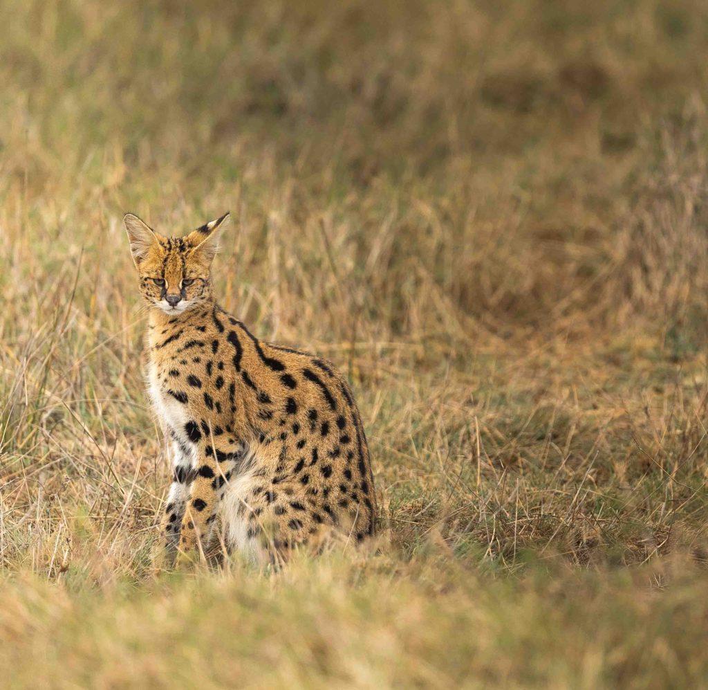Serval cat taken by George B Turner at Asilia's Olakira Camp