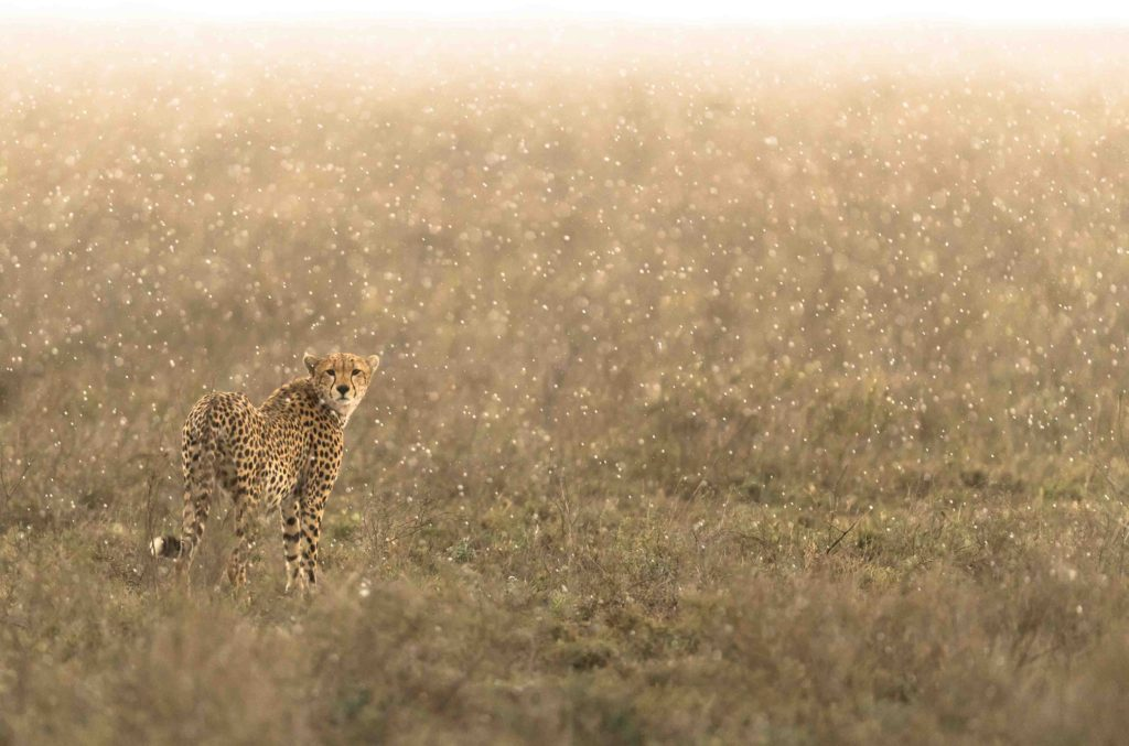 Cheetah in the rain taken by George B Turner at Asilia's Olakira Camp