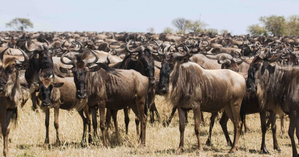Wildebeest as far as the eye can see on the plains of East Africa