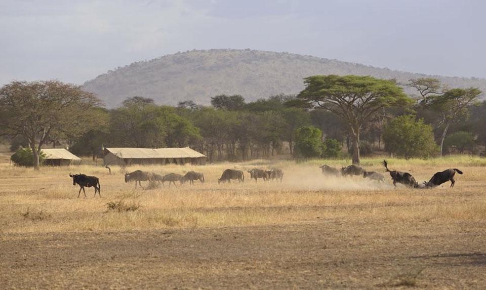 The Great Wildebeest Migration passes Ubuntu Camp.