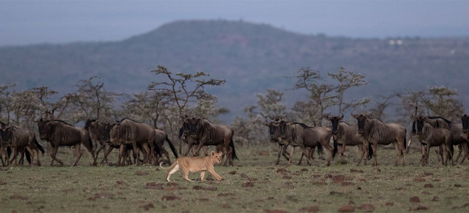 A couple of lion cubs have a go at stalking and chasing a small herd of wildebeest.