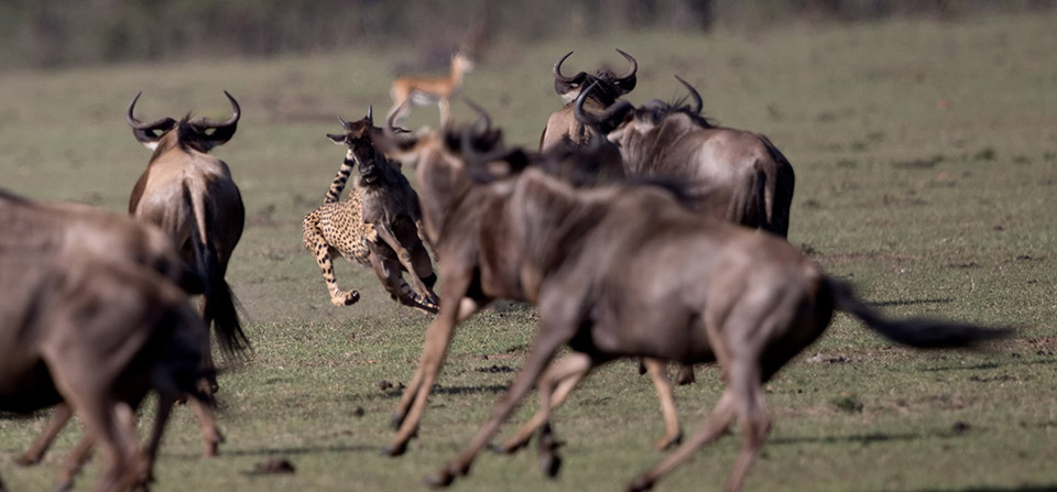 He hits his target and the young wildebeest goes down.
