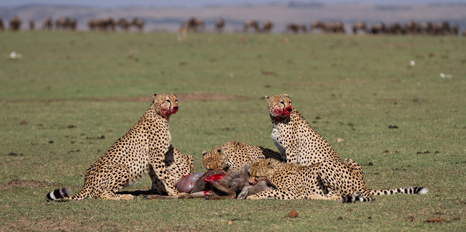 The coalition of brothers feed on their meal quickly.