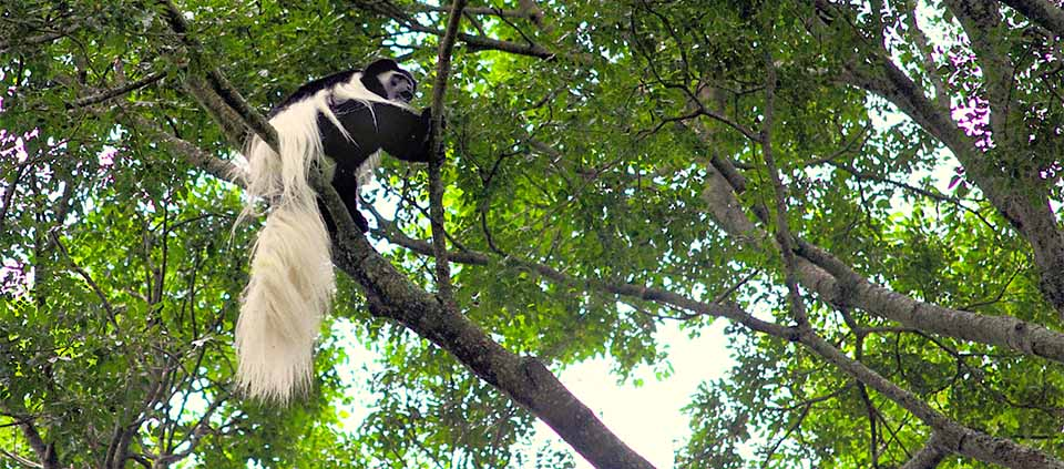 A Colobus monkey shows off his magnificent tail in Jozani Forest.