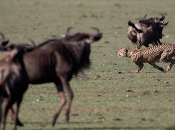 Cheetah Chases at Naboisho Camp