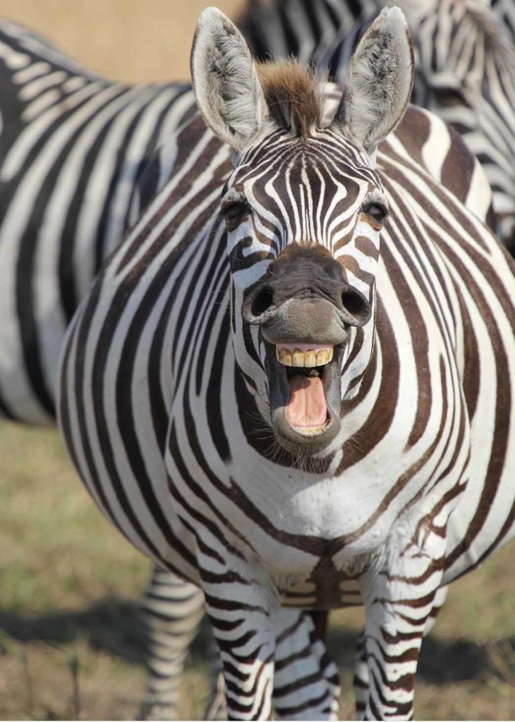 A very pregnant zebra laughing at you! Photo credits: Jamie Steffen