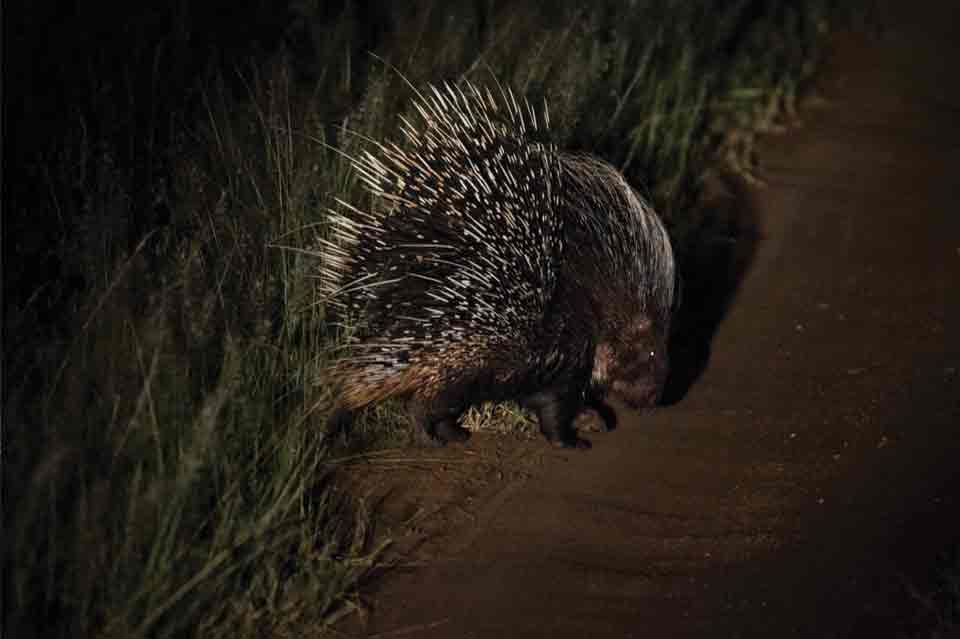 A porcupine scurries across the road.