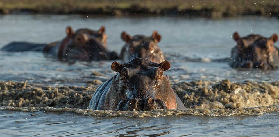 a hippo charges you can really see the power these creatures hold - Pictures Of Hippos