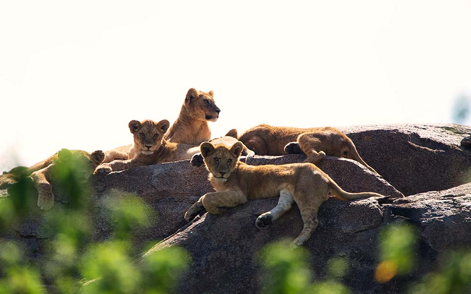 Lion Cubs sitting on rocks at Dunia Camp in Africa
